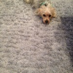 Lynnwood-Dog-carpet-clean